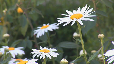 chamomile 2 Stock Video Footage