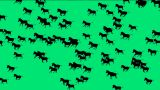 a group of horses silhouette running with green screen Animation