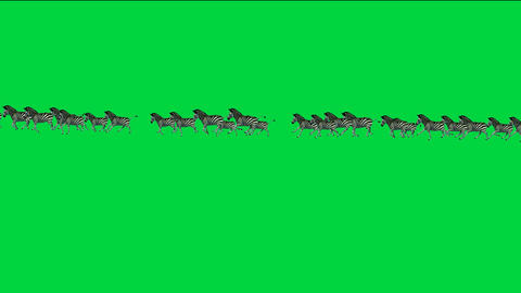 a group of zebra running with green screen Animation