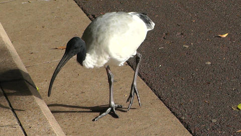 Australian White Ibis 01 handheld Stock Video Footage