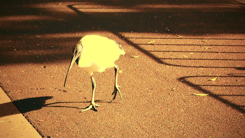 Australian White Ibis 70s old film stylized 01 Stock Video Footage