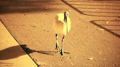Australian White Ibis 70s old film stylized 01 Footage