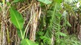 Banana Plant 01 stock footage
