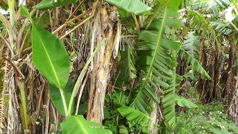 Banana Plant 01 Footage