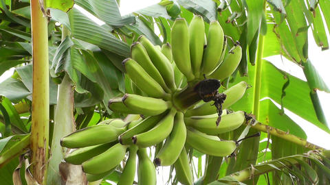 Banana Plant 03 Stock Video Footage