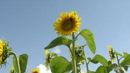 Honeybee feeds sunflower Footage