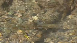 Mountain trout swim in river Footage