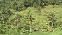 Rice terrace in Bali, Indonesia Footage