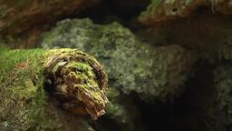 Moss covered rocks in Aokigahara, Japan Footage