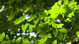 風に揺れる葉 Footage