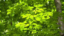 新緑のブナの葉 Footage