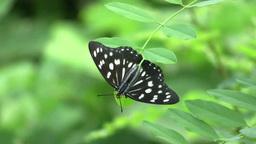 ゴマダラチョウ Hestina persimilis japonica Footage