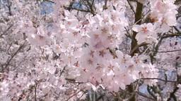 満開の桜のアップ Footage