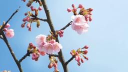桜とつぼみのアップ 영상물