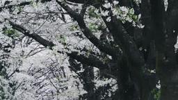 真原桜並木の桜吹雪 影片素材