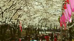 隅田公園の桜並木とお花見客 영상물
