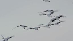 タンチョウの飛翔 Footage
