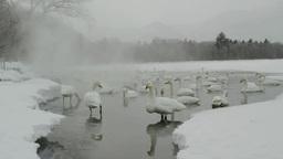 屈斜路湖畔の白鳥 Footage