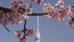 東京スカイツリーと大寒桜 Footage