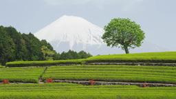 茶畑と富士山 stock footage