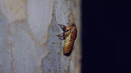 アブラゼミの幼虫 Footage