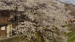 金沢の「主計町茶屋街」と桜 影片素材