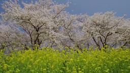 青毛堀川堤の菜の花と桜並木 影片素材