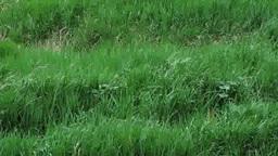 風に揺れる草たち Footage