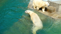 Polar bears Live Action