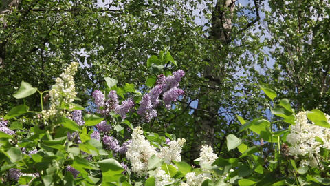 blossoming lilac Stock Video Footage