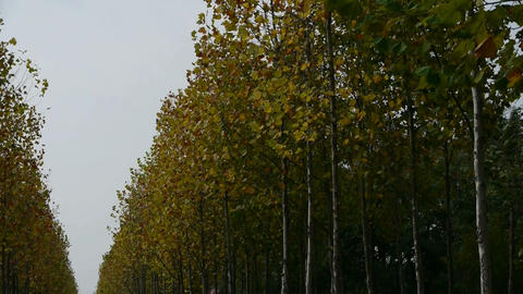 swing tree and falling yellow leaves,tree crown Stock Video Footage