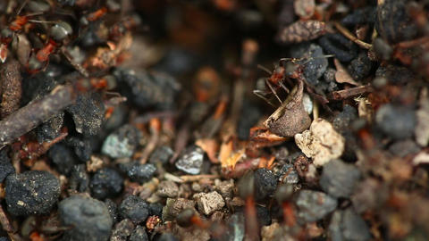 Ants nest. Macro Stock Video Footage