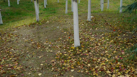 falling yellow leaves on ground behind trunk Stock Video Footage