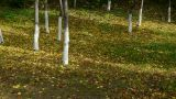 falling yellow leaves and sunlight on ground behind trunk Footage