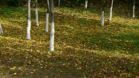 falling yellow leaves and sunlight on ground behind trunk Stock Video Footage