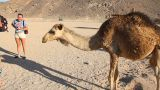 Camel Drinks Water stock footage