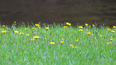 Dandelion flowers on the lawn with flowing river Stock Video Footage