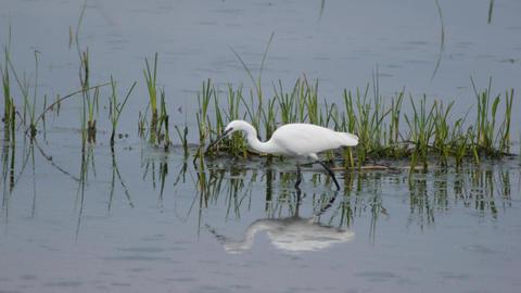 common egret Footage