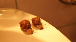 Snails on the edge of the bathroom sink. Snails race Footage