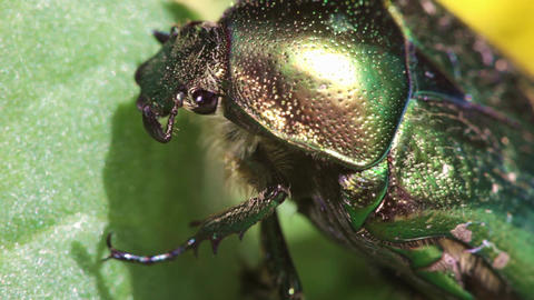Chafer Golden Insect Beetle Macro Footage