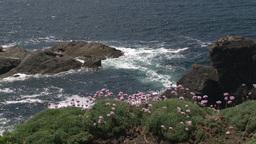 Sea Thrift (Armeria maritima) flowering Footage