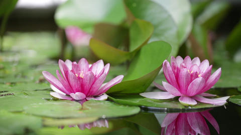 Pink water lily is beautifully reflected in lake water Footage
