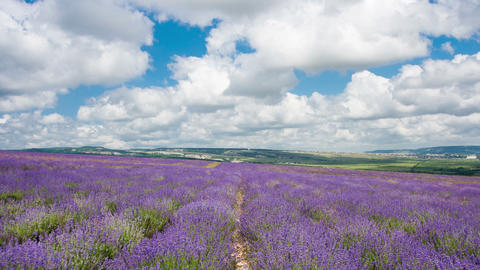 Big Field With The Blossoming Lavender In Summer Day, Timelapse stock footage