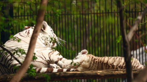 White tigress and cub Live Action