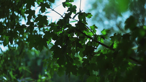 green leaves of a maple are moved by a wind 影片素材