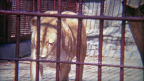 1973: Female lion locked in tiny zoo cage Footage