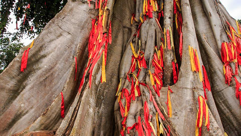 Closeup View Of Giant Tree Decorated With Traditional Red Strips stock footage