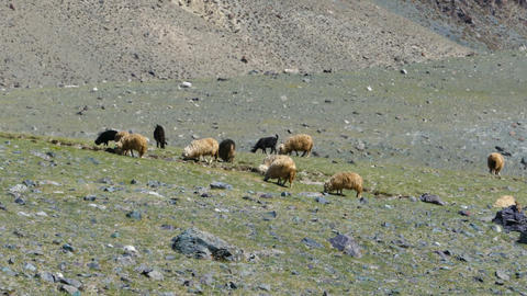 flock of sheep on mountain pasture Footage