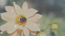 Bumblebee On Flowers Slow Motion Footage