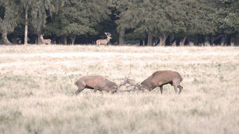 Two male red deer,Cervus elaphus Footage